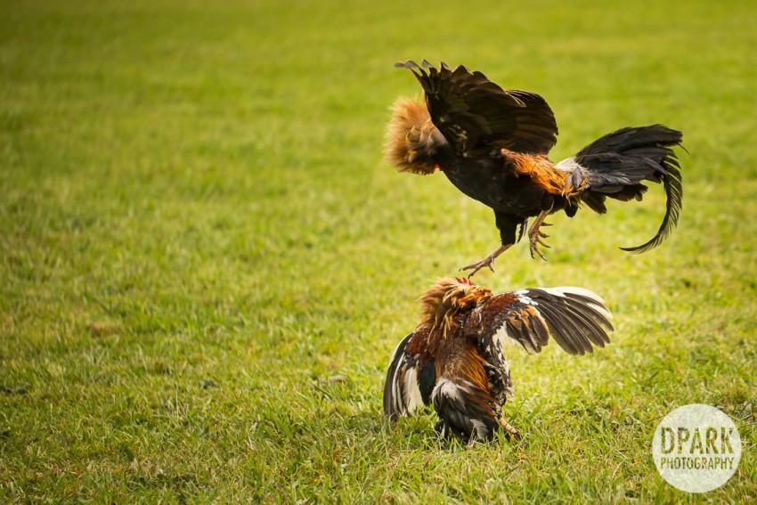 kauai-chicken-fights-wild