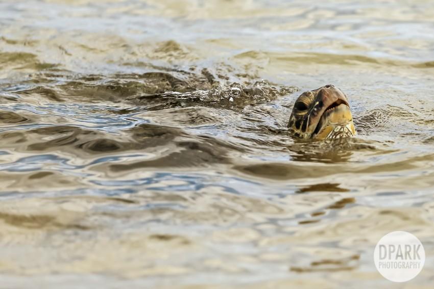 poipu-beach-turtles-tortoise